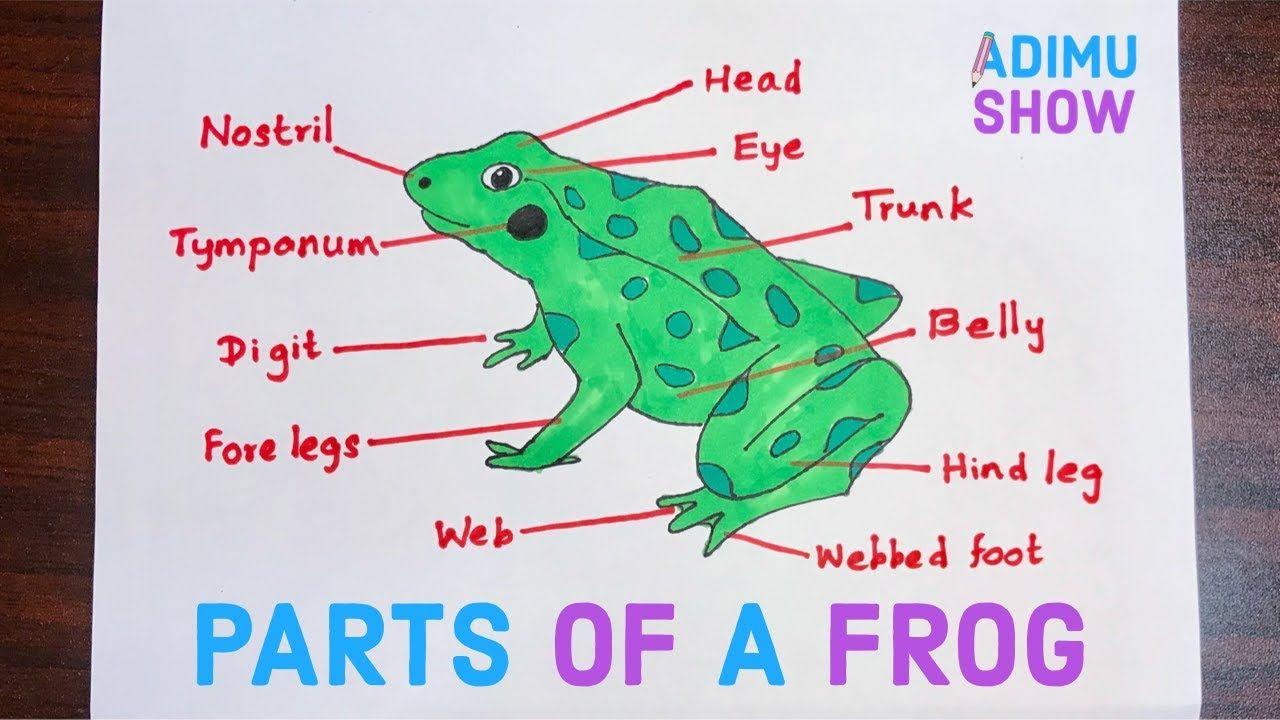 Parts Of A Frog In 2021 Science Diagrams Biology Diagrams Diagram