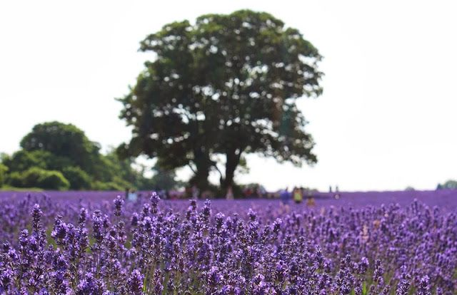 A picnic in a field of purple at Mayfield Lavender Farm in Banstead - This Is Your Kingdom