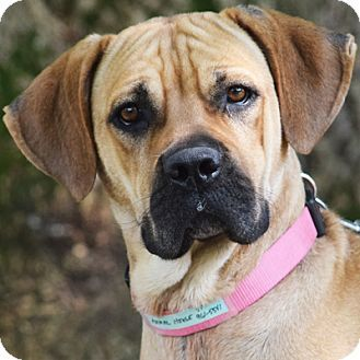 Boxer dog for Adoption in Springfield, IL. ADN784820 on