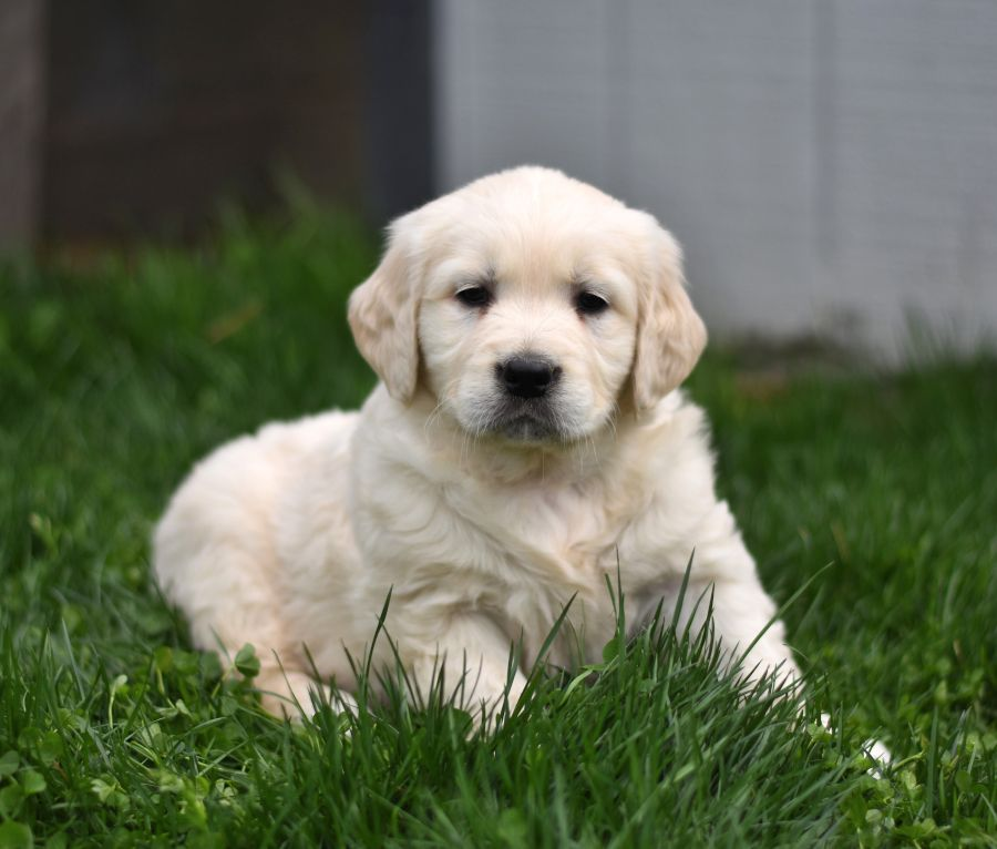Friendly Goldenretrieverenglishcream Golden Retriever Puppies