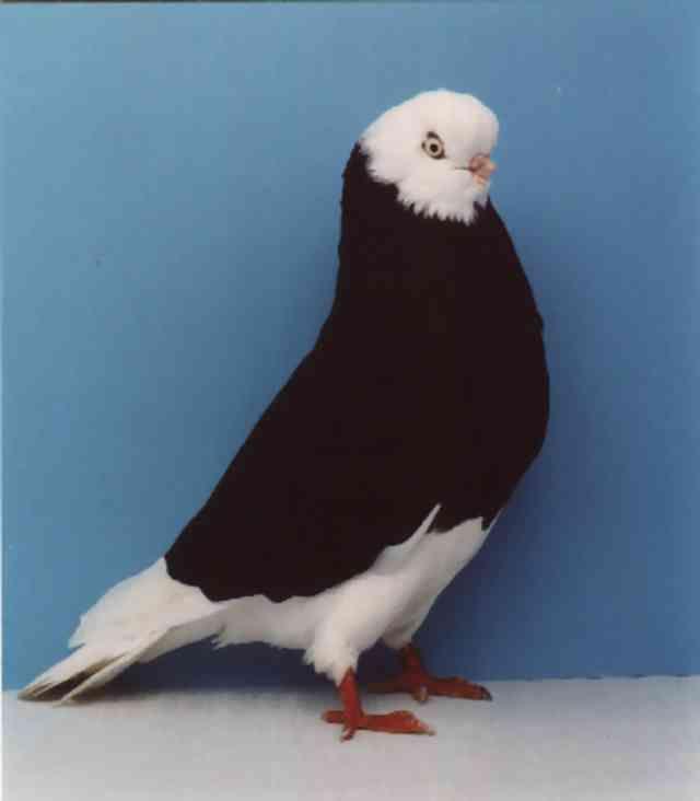 أنواع الحمام Bald Eagle Mammals Animals