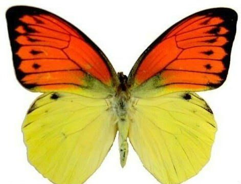 """Framed Vibrant Sulpher Butterfly Riker Mount (6"""" x 5"""")"""