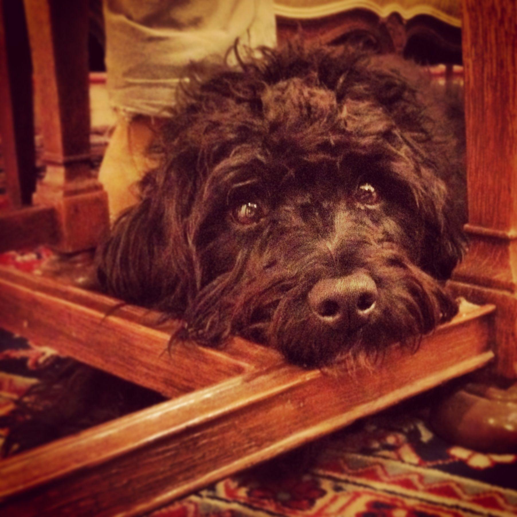 Cute Little Schnoodle Schnoodle Black Schnauzer Sweet Dogs