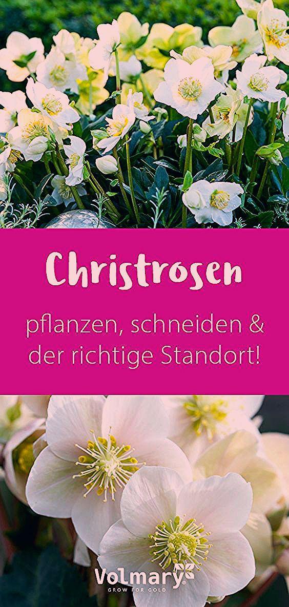 Photo of Christrosen – schneiden, pflanzen, & der richtige Standort.