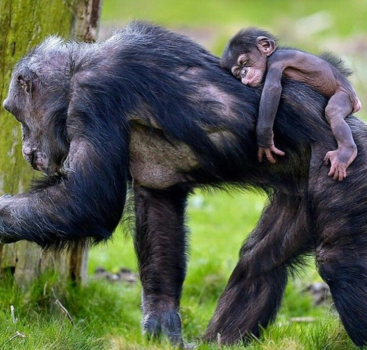 So tuckered | Baby chimpanzee, Animals, Chimpanzee
