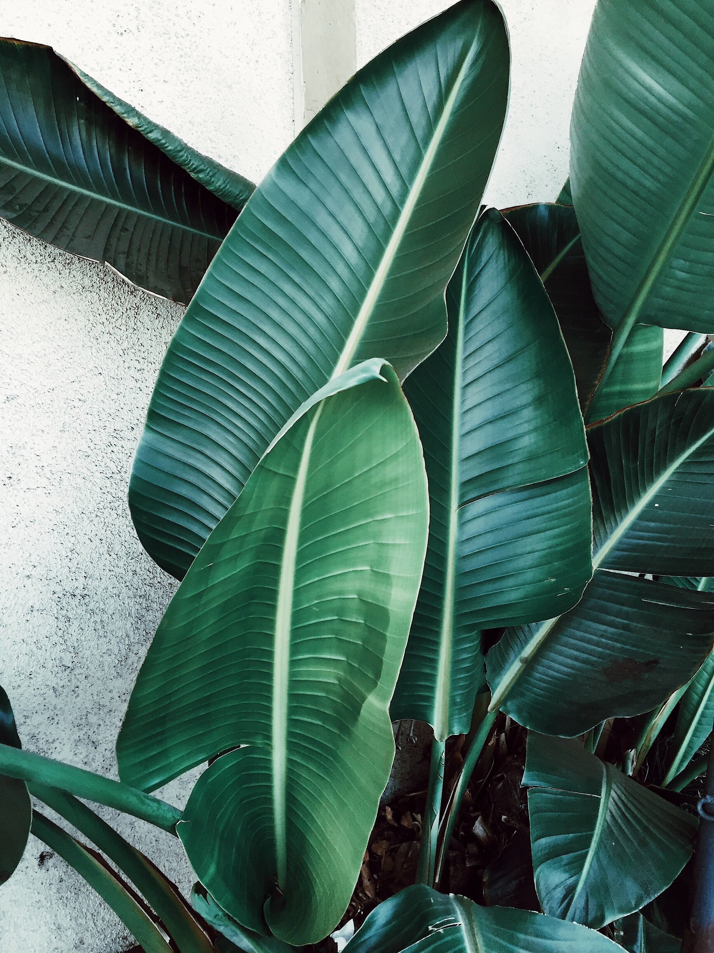 Banana Leafs Tropical And So California Leaf Photography Tropical Leaves Plant Aesthetic