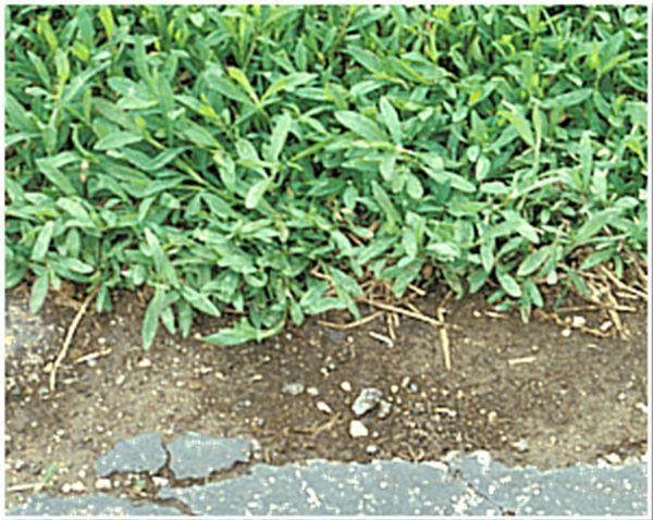 Prostrate knotweed lawn weeds #prostrateknotweed #lawnweeds | Lawn ...