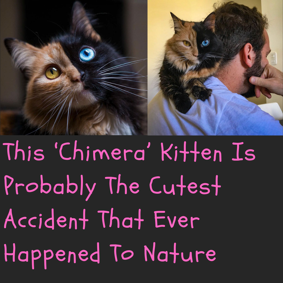 This Chimera Kitten Is Probably The Cutest Accident That Ever Happened To Nature Cute Animals Pet Birds I Love Cats