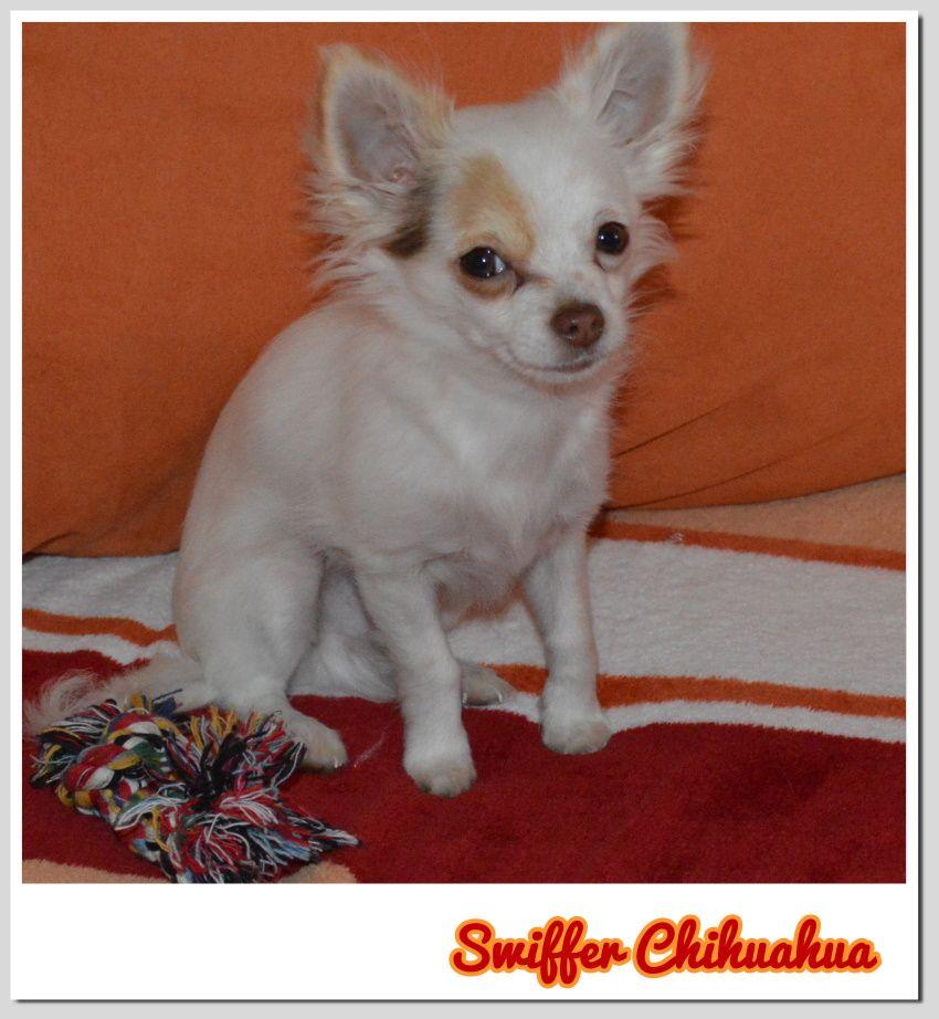 Www Facebook Com Swifferchihuahua Chihuahua Dogs Chihuahua Dogs