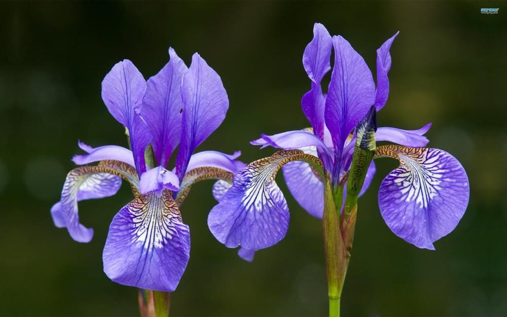 Iris Essential Oil Naturalremedies In 2020 Amazing Flowers Buy Flowers Online Purple Plants