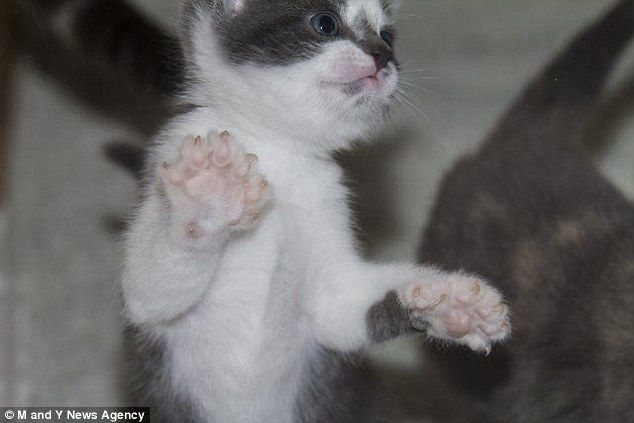 Kittens Born With 26 Toes Each Two More Than Usual On Each Paw Cats Kittens Cat Adoption