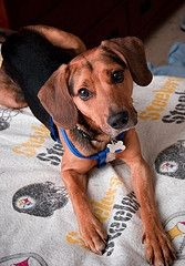 Beagle Coonhound Mix Coonhound Miss My Dog Dogs