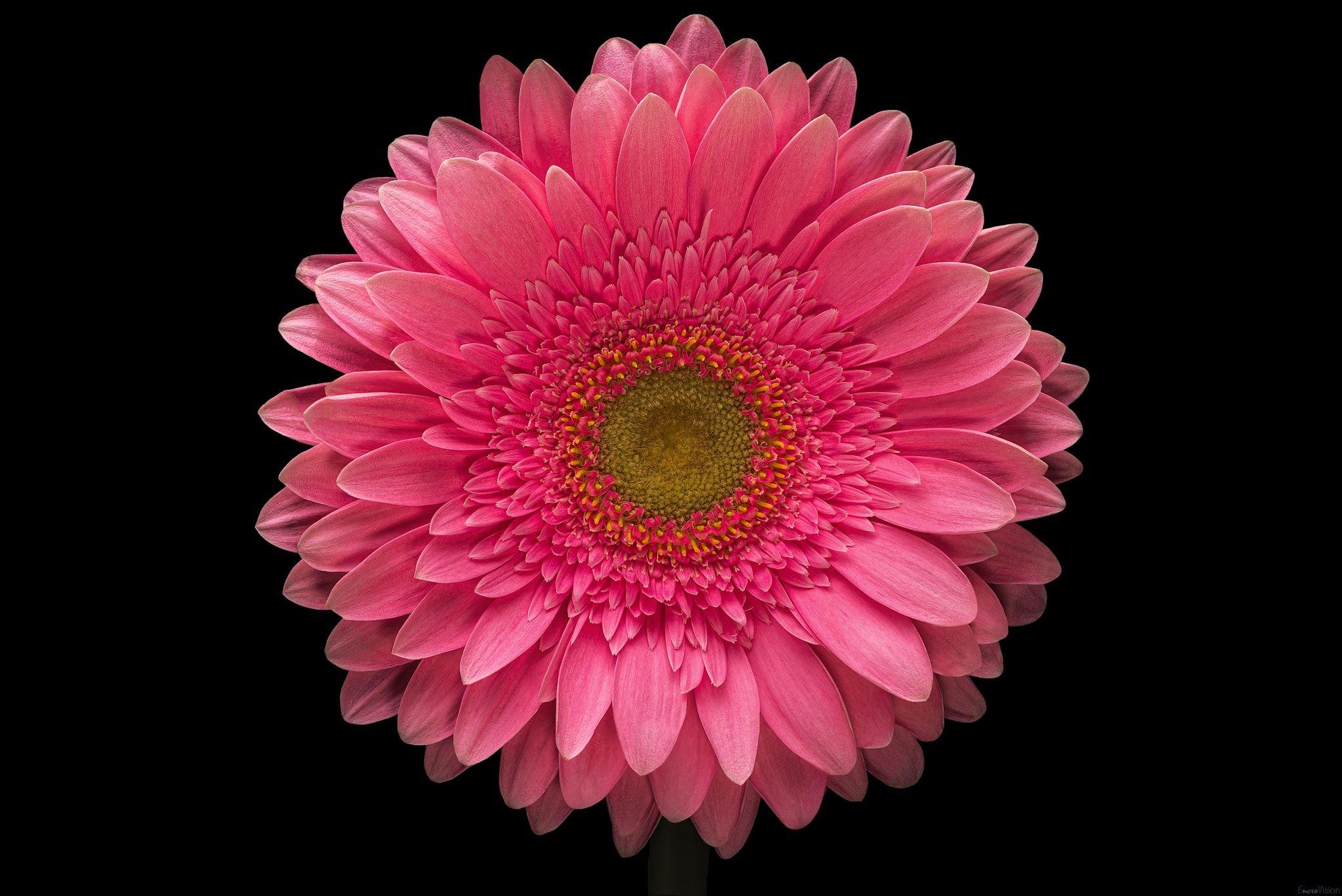 Pink Gerbera Daisy On Black Gerbera L Is A Genus Of Plants