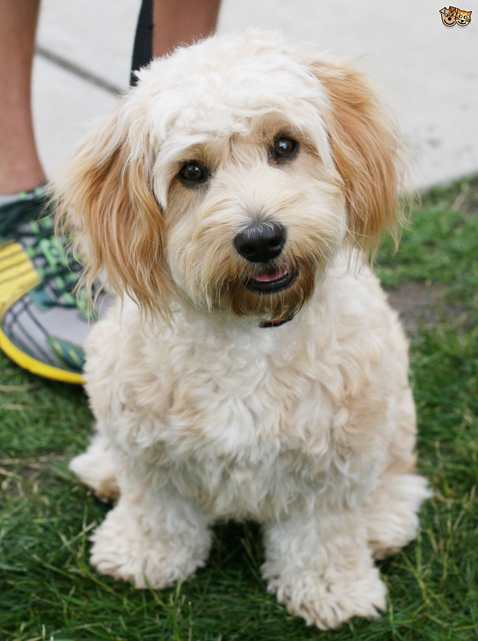 Cavachon Dog Breed Facts Highlights Buying Advice Pets4homes Dog Breeds Cavachon Dog Cavachon