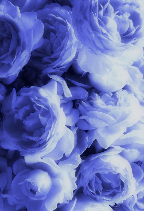 Periwinkle Roses Touches Of Color Periwinkle Color