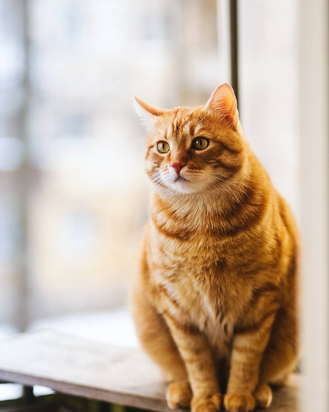 Top 10 Most Beautiful Cat Breeds In The World In 2020 Orange Tabby Cats Cute Cats Photos Tabby Cat