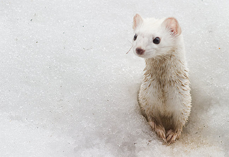 The Ermine, also known as the short-tailed weasel, is the smallest member of the weasel family.