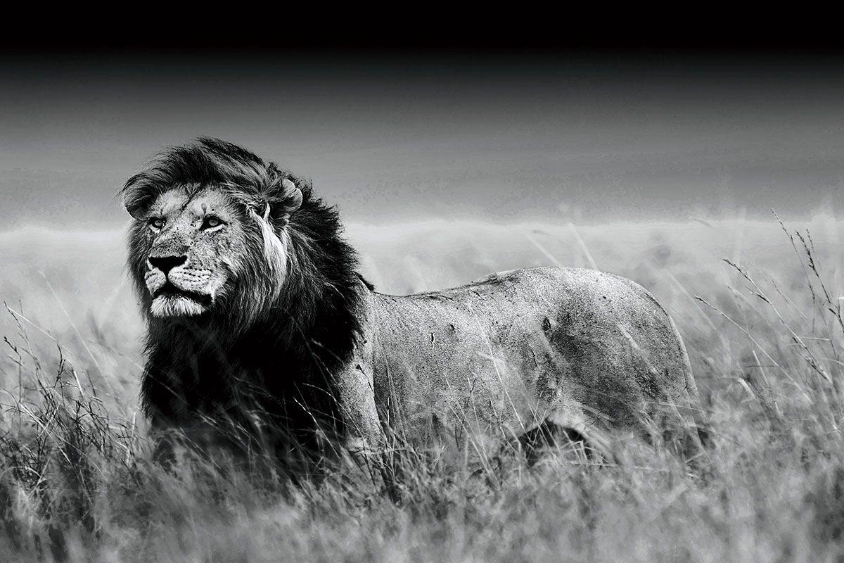 Foto op glas Olifant Deze zwart-wit foto van een mannetjes leeuw is ...