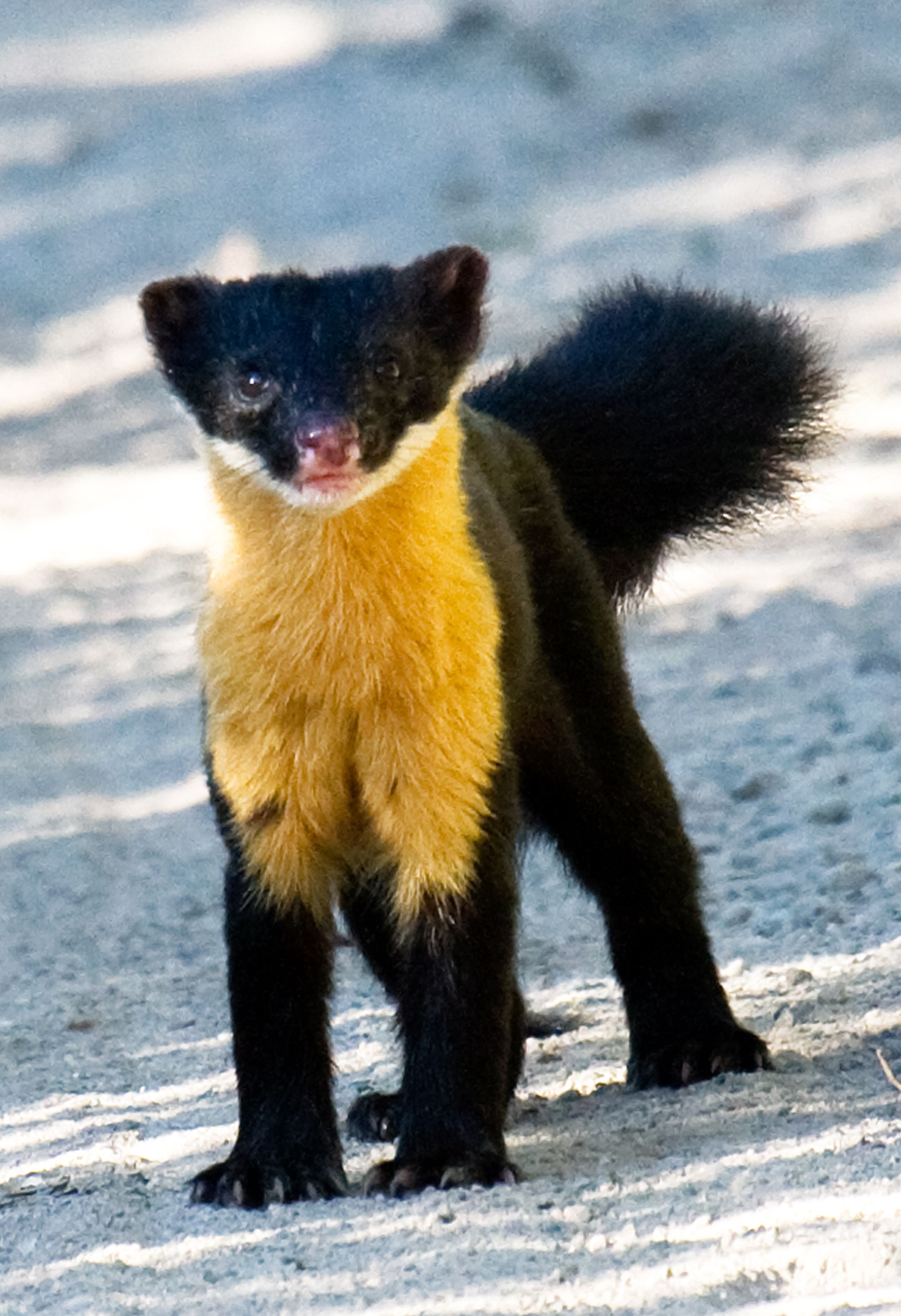The Nilgiri marten can be found in southern India