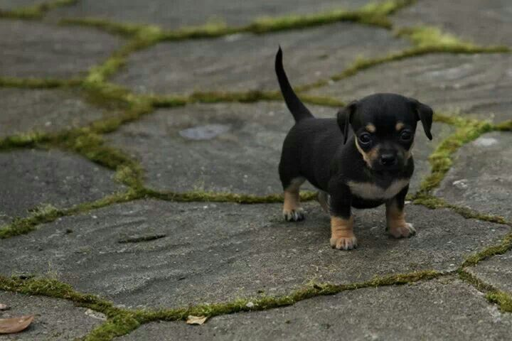 Chiweenie Chihuahua Dachshund Mix Info Temperament Puppies