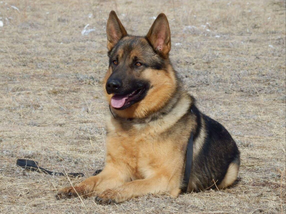 Brian Nance is from Colorado and breeds German Shepherd