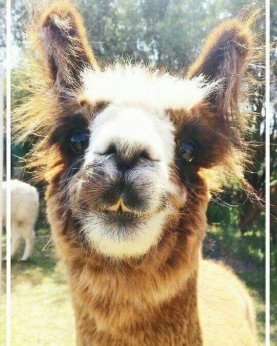Ffa Funny Farm Animals Cute Alpaca Alpaca Stuffed Animal Alpaca