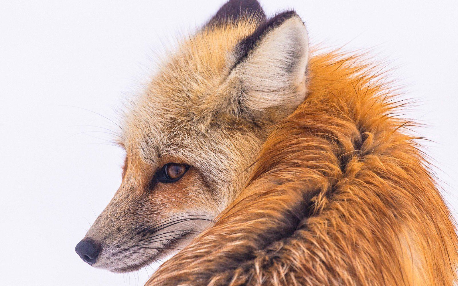 Major Win For Animals Germany Votes To End Cruel Fur Farming Animals Beautiful Fox Pictures Animals