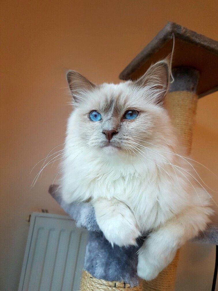 Luigi birman cat lilac point petit chat chat chaton