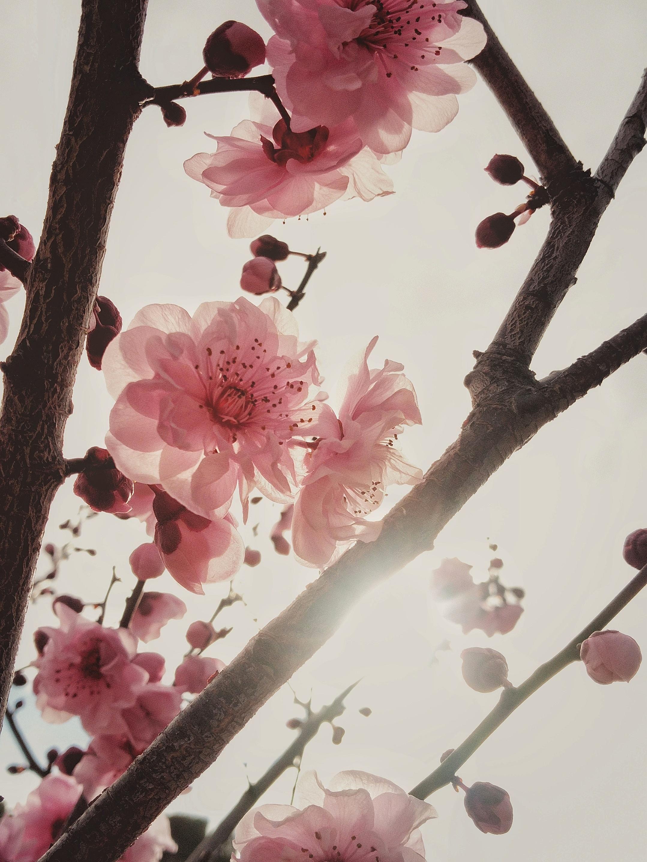 Cherry Blossom In Melbourne Australia 1080x1350 Oc Https Ift Tt 2mncspr Melbourne Australia Cherry Blossom Blossom
