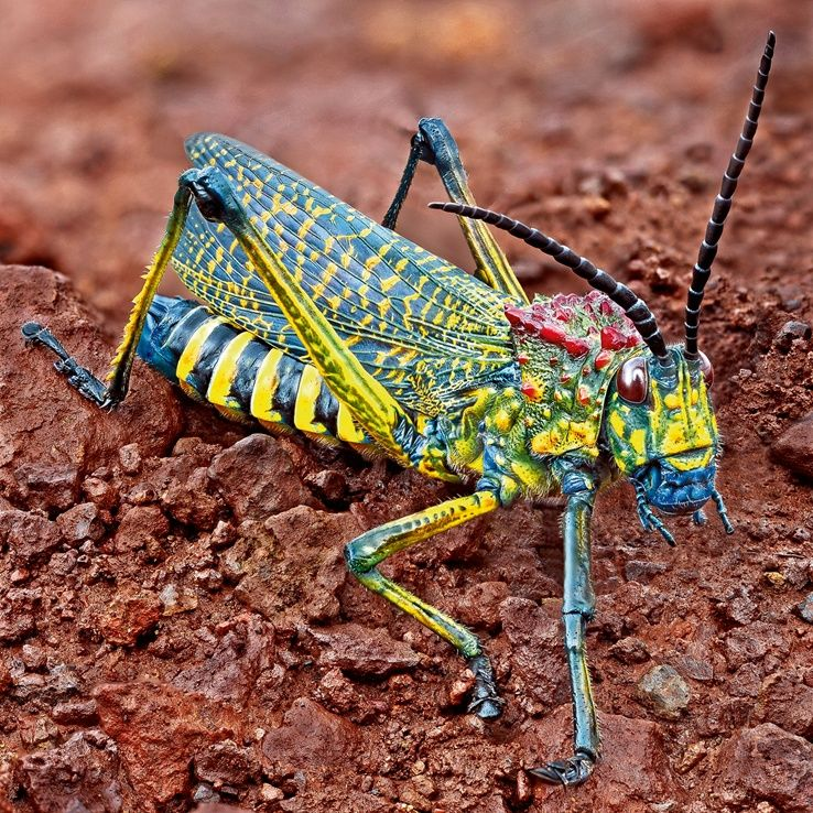 Gaudy Grasshopper  The most beautiful grasshopper in the world, Phymateus saxosus madagascariensis, is limited to medium-altitude regions of Madagascar.