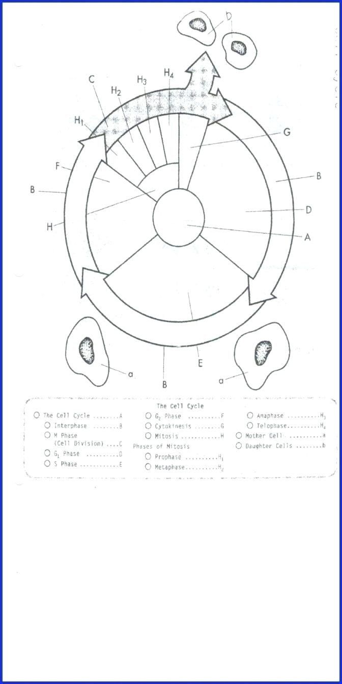 The Cell Cycle Coloring Worksheet Answer Key Elegant Cell Cycle And Mitosis Coloring Worksheet Answers Cell Cycle Cells Worksheet Color Worksheets