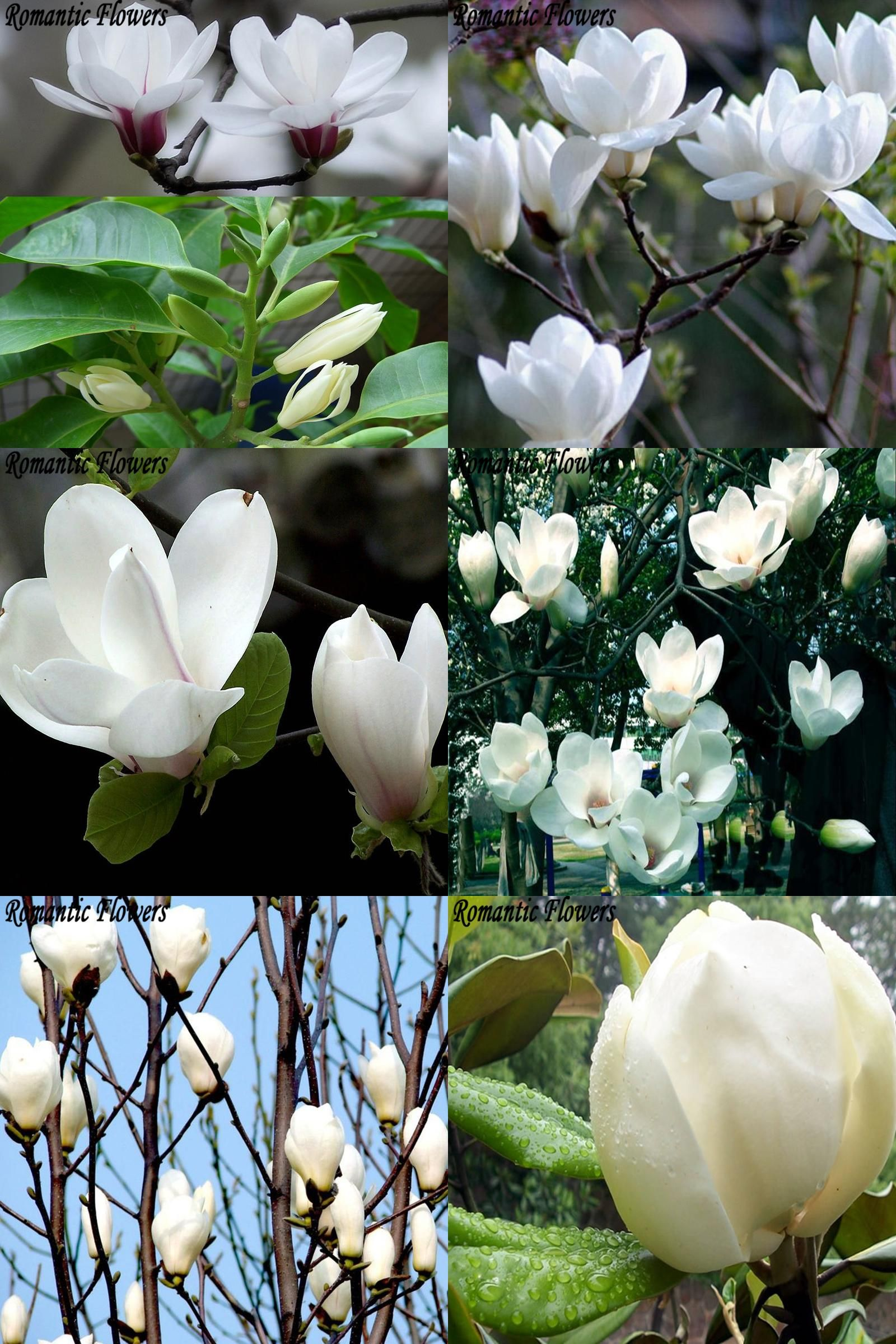 Visit To Buy Magnolia Tree Seed 10 Pack White Flowers Planting