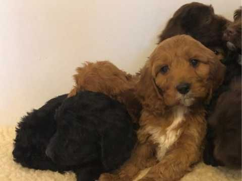 Cockapoo Puppies F1 Girls And Boys Maidstone Kent Pets4homes