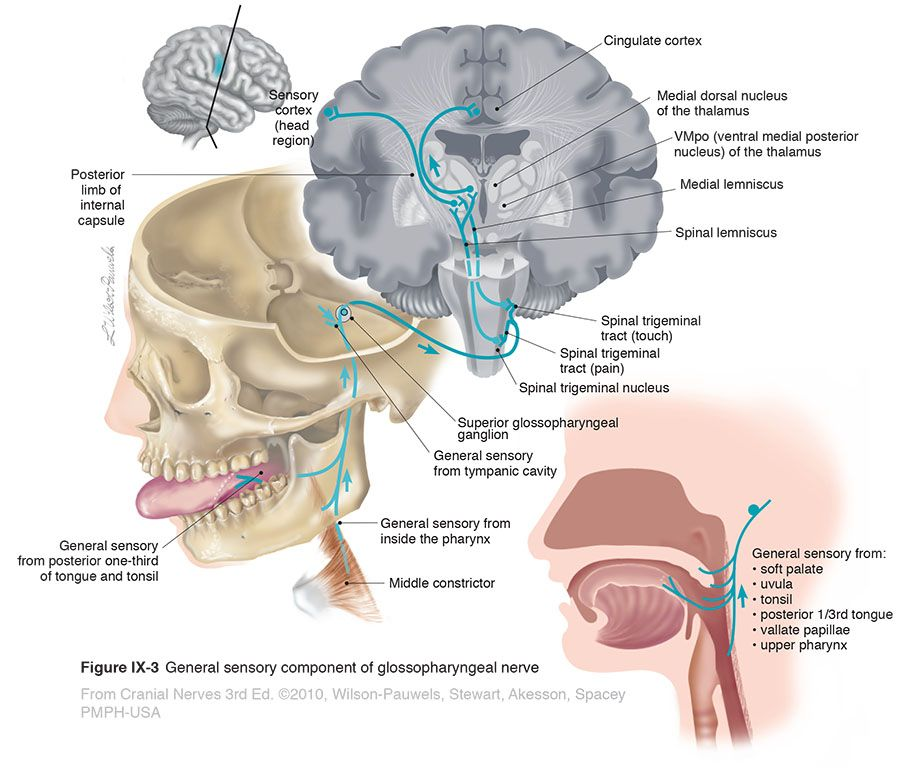 Pin by Bill on medizina   Pinterest   Cranial nerves and Illustrations