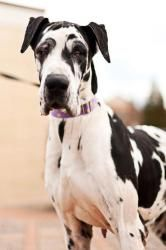 Adopt Natalie On Great Dane Puppy Great Dane Funny Great Dane Dogs