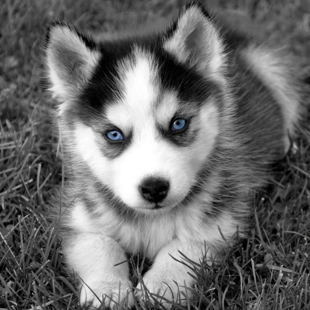 Download Baby Blue Eye Chubby Adorable Dog - a43ee9575c5614950080539ef4088267  Pic_195627  .jpg