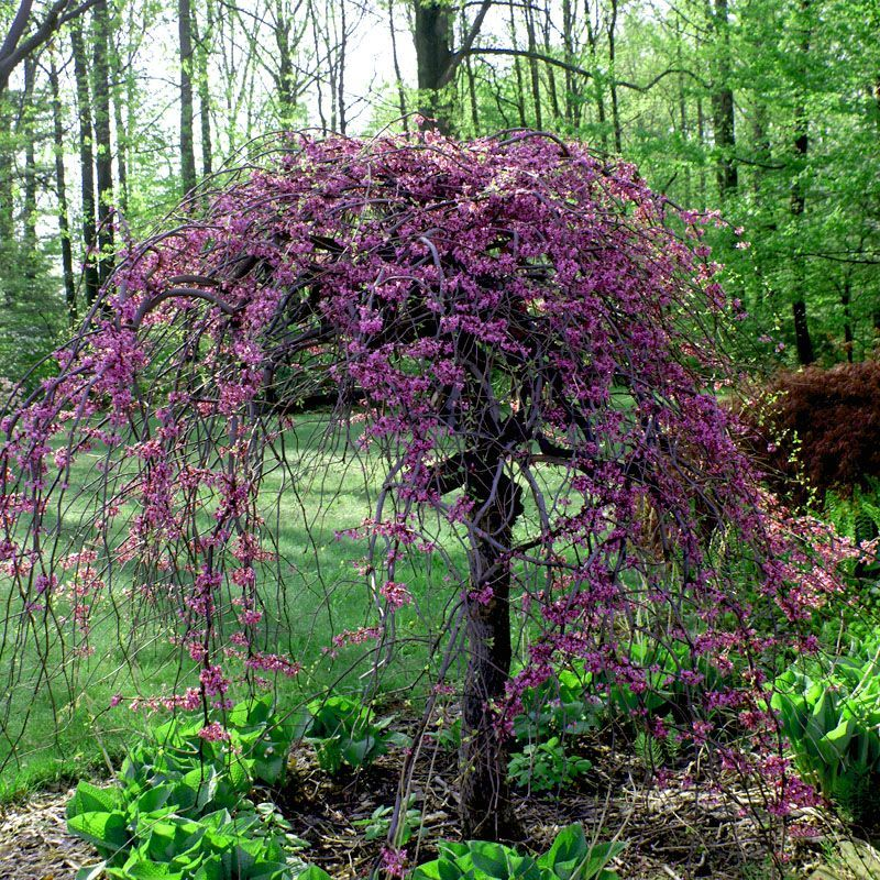 Lavender Twist Weeping Redbud Buy At Nature Hills Nursery Redbud Tree Garden Shrubs Ornamental Trees