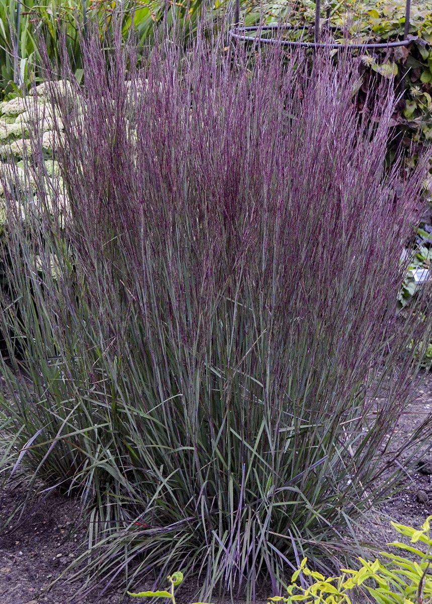 Blue Paradise Is An Ornamental Grass That Withstands Adverse Weather Conditions In Summer E Ornamental Grass Landscape Grasses Landscaping Ornamental Grasses