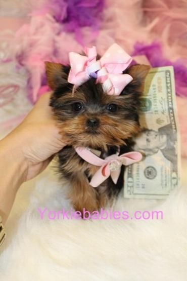 Poodle Breeders South Florida : poodle, breeders, south, florida, Teacup, Yorkies, Breeder, Puppies, |Micro, Yorkie, Sale,, Puppy