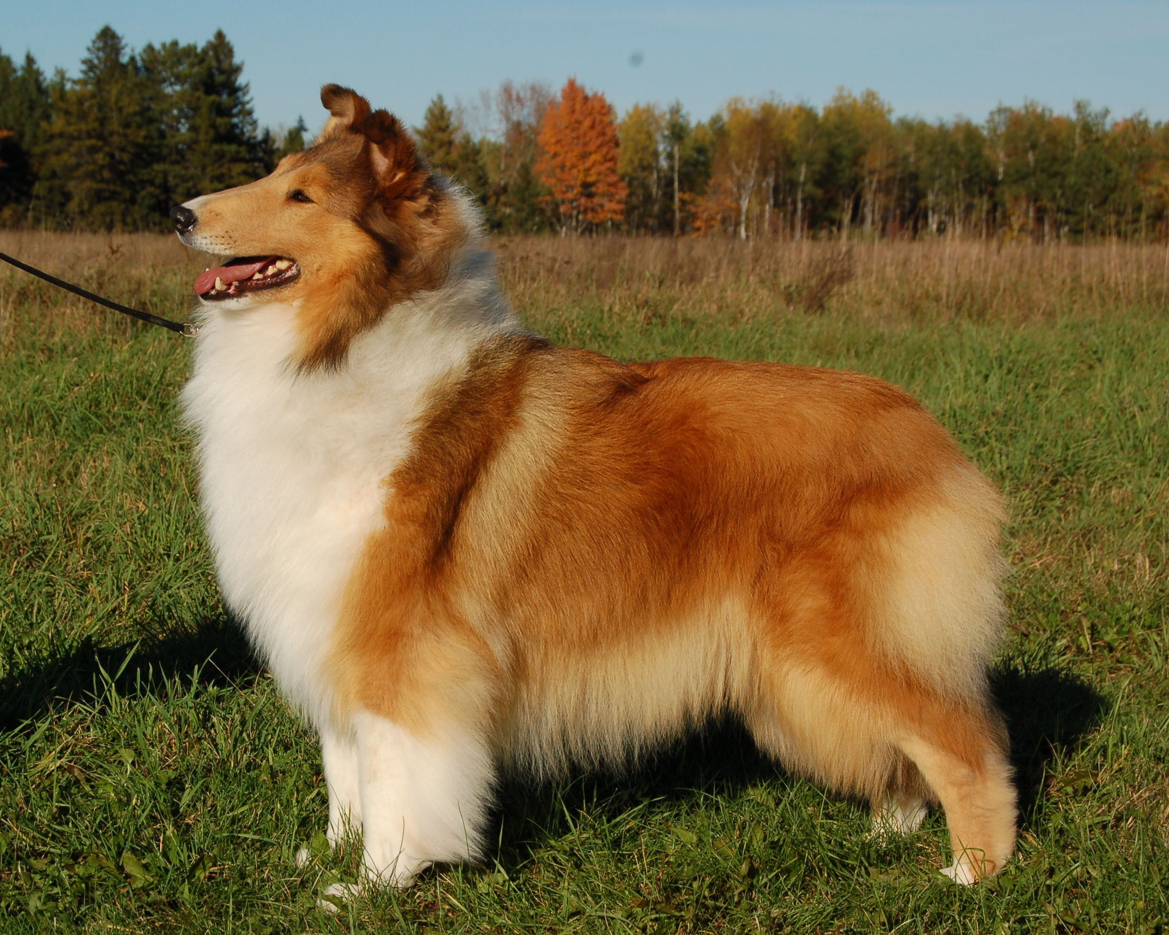 The Perfect Example Of The Collie I Want 3 Rough Collie
