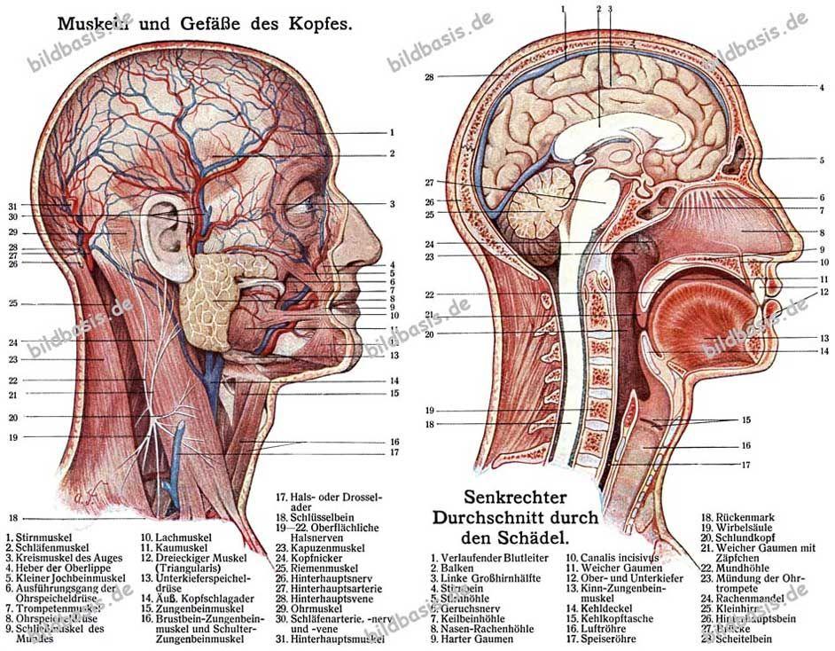 Muskeln und Gefäße des Kopfes [004 372] - bildbasis.de - Bildarchiv ...