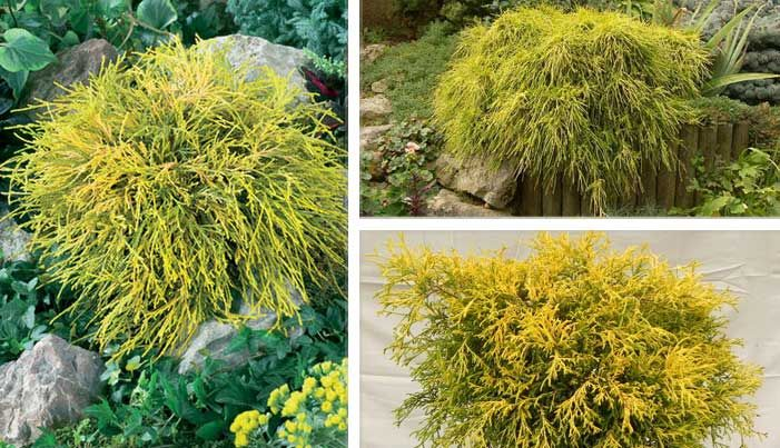 one of the most golden accent shrubs available  this forms a wide