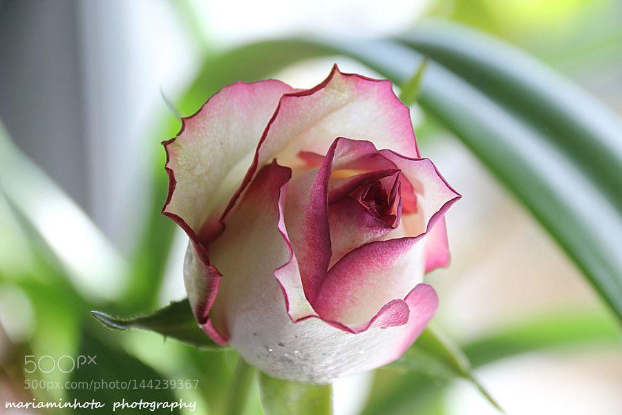 A single rose by mariaminhota. @go4fotos
