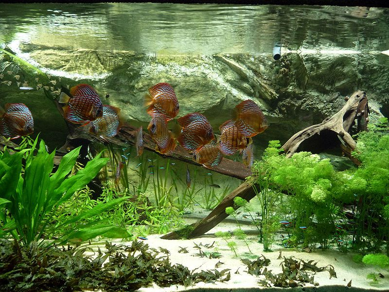 discus fish in tropical fish tank aquarium pinterest. Black Bedroom Furniture Sets. Home Design Ideas