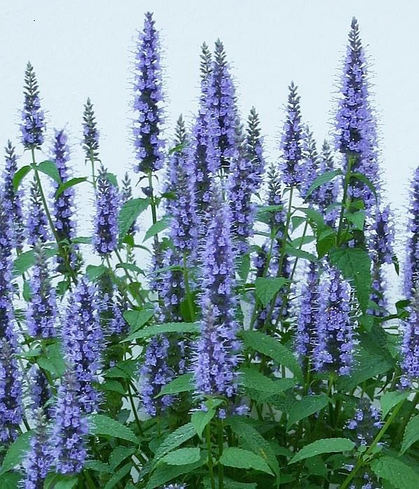 agastache astello indigo long lasting deep blue flower