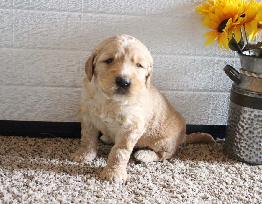 Canyon in 2020 puppy adoption puppy finder goldendoodle