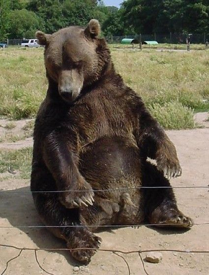 Sitting Bear (With Images)