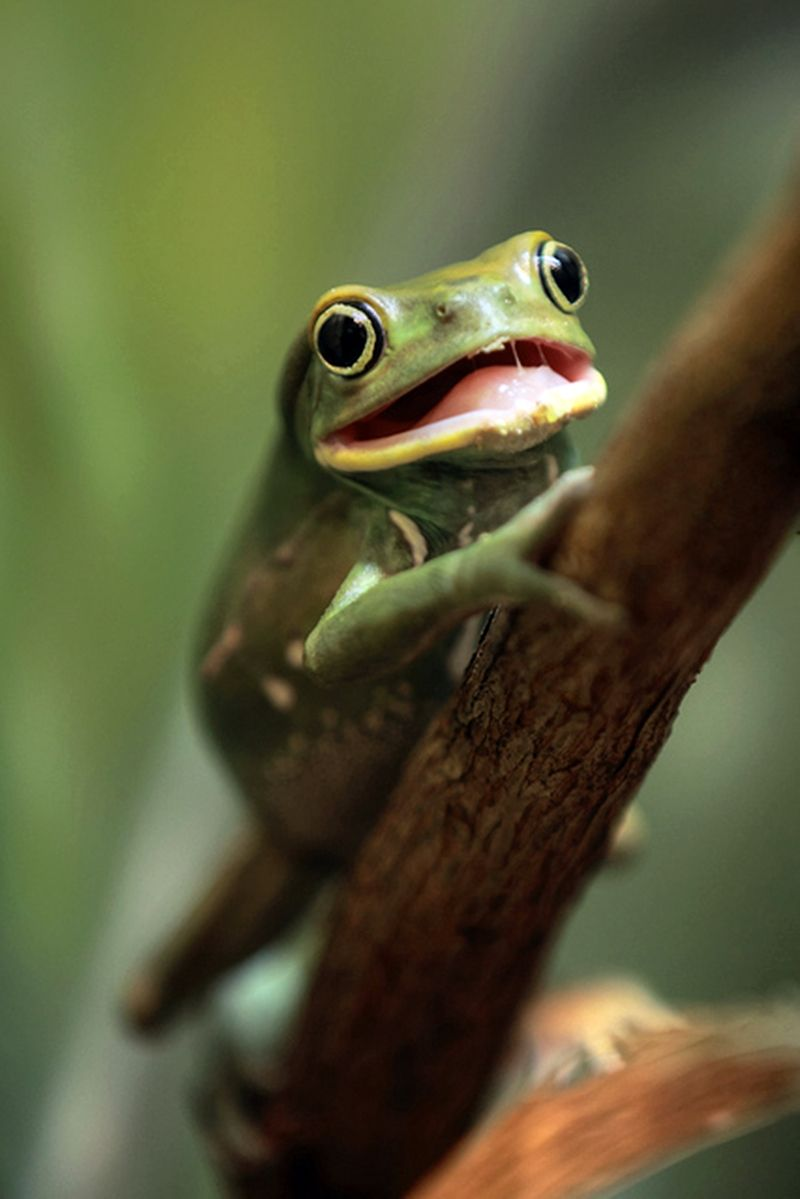 Wax Monkey Frog | Funny Frogs & Toads | Pinterest | Wax, Frogs and ...