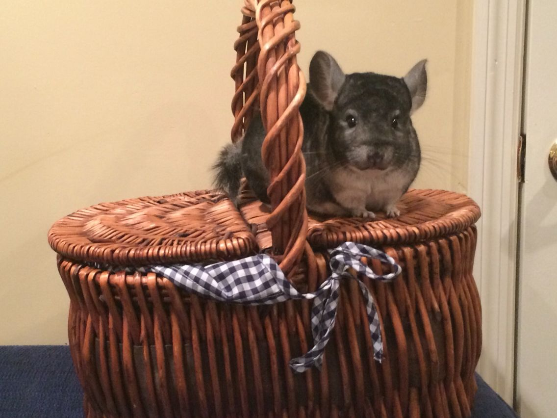 Cute!!!! (With images) Chinchilla, Cute, Cuteness overload