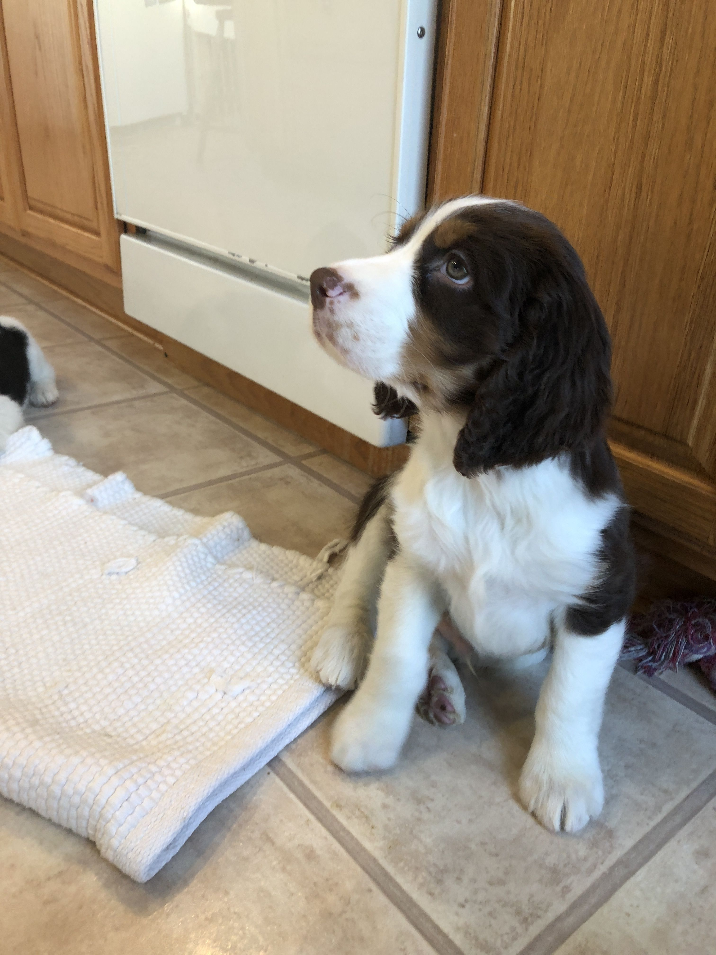 First Day I Went To Meet Mac English Spring Spaniel 8 Weeks Old Dog Obsessed Springer Spaniel Puppies Springer Spaniel